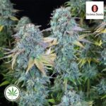 SeriousSeeds-SeriousHappiness