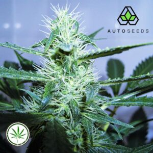 Auto-Seeds-Candy-Kush