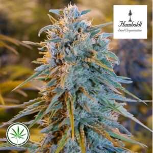 Humboldt-Seed-Blue-Dream