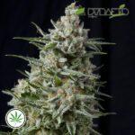 PyramidSeeds-Anesthesia-CBD