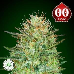 00-Seeds-Auto-Sweet-Critical