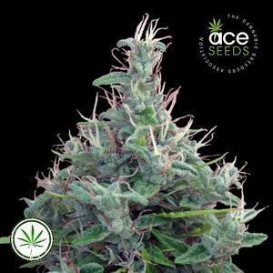 ACE-Seeds-Libano-Standard-reg