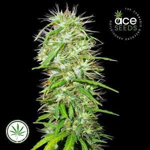 ACE-Seeds-Mauritius-Ethiopian