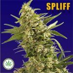Spliff-Seeds-AK-fem