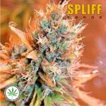 Spliff-Seeds-Blue-Medi-Kush-fem