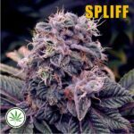 Spliff-Seeds-Blueberry-fem