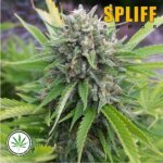 Spliff-Seeds-Bubblegun-fem
