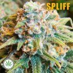 Spliff-Seeds-CBD-Medi-Kush-fem