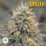 Spliff-Seeds-CBD-Spliff-Berry-fem