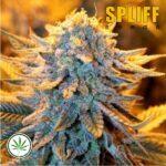 Spliff-Seeds-Dutch-Automatic