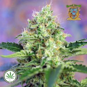 Sweet Seeds Crystal Candy Fast