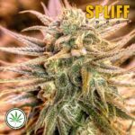 Spliff-Seeds-Gold-Bar-Kush-fem
