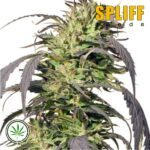 Spliff-Seeds-Gold-Rush-Outdoor-fem