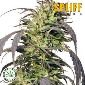 Spliff-Seeds-Gold-Rush-Outdoor-fem