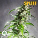 Spliff-Seeds-Jack-F1-fem