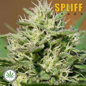 Spliff-Seeds-Lemon-Cream-Kush-fem