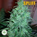 Spliff-Seeds-Mega-Power-Plant-fem