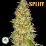 Spliff-Seeds-Moon-Walker-Kush-fem