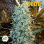 Spliff-Seeds-Power-Plant-fem