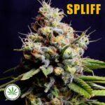 Spliff-Seeds-Purple-Berry-Kush-fem