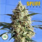 Spliff-Seeds-Snow-White-fem
