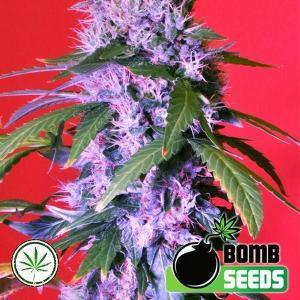 Bomb-Seeds-Berry-Bomb-reg