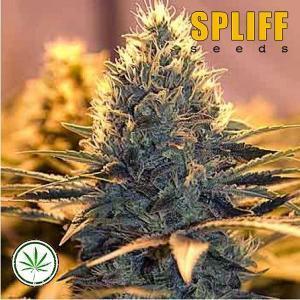 Spliff-Seeds-Spliff-Cheese-fem