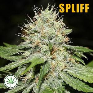 Spliff-Seeds-Sweet-n-Sour-Indoor-fem