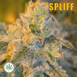 Spliff-Seeds-Sweet-n-Sour-Outdoor-fem