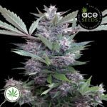 ACE-Seeds-Bubba-Kush-PCK-fem
