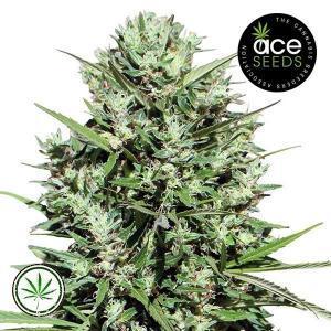 ACE-Seeds-Morocco-Beldia-Kif-reg