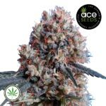 ACE-Seeds-Nepal-Jam-Kali-China-fem