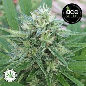 ACE-Seeds-Panama-Bangi-Haze-reg
