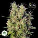 ACE-Seeds-Super-Malawi-Haze-fem