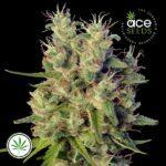ACE-Seeds-Super-Malawi-Haze-reg