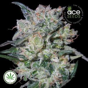 ACE-Seeds-Zamaldelica-Kali-China-fem