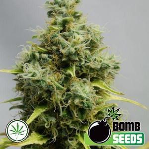 Bomb-Seeds-Big-Bomb-fem