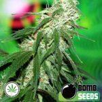 Bomb-Seeds-Buzz-Bomb-fem