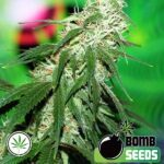 Bomb-Seeds-Buzz-Bomb-reg