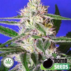 Bomb-Seeds-Edam-Bomb-fem
