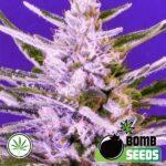 Bomb-Seeds-Ice-Bomb-fem