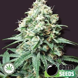 Bomb-Seeds-Kush-Bomb-fem