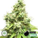 Bomb-Seeds-Medi-Bomb-1-fem