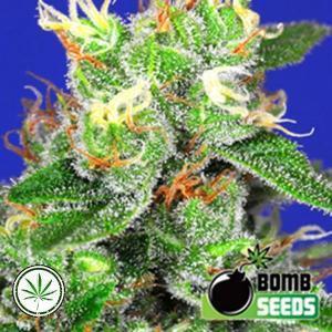 Bomb-Seeds-Medi-Bomb-2-fem