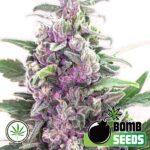 Bomb-Seeds-THC-Bomb-auto