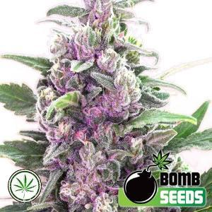Bomb-Seeds-THC-Bomb-fem