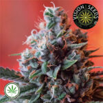 Vision-Seeds-Dark-Star-AK-49-Fem
