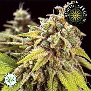 Vision-Seeds-Doctor-Jamaica-Auto-Fem