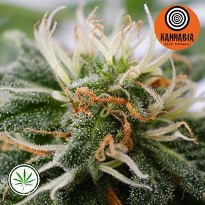 Kannabia-Silver-Widow-fem
