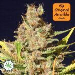 Original-Sensible-Seeds-Alien-Gorilla-fem